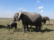 Tanzania Classic Safari - Elephant in Serengeti