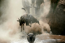 wildebeests Migrating